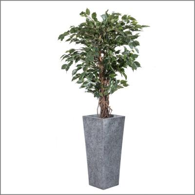 Plante Ficus liane H190cm