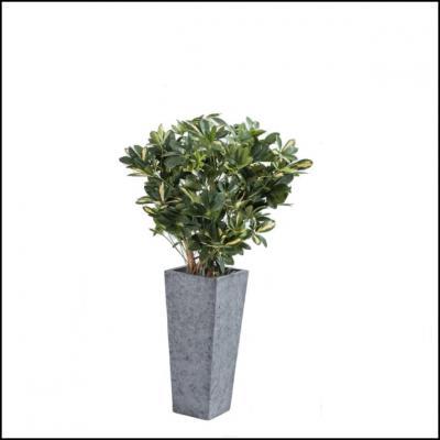 Plante schefflera h110 1