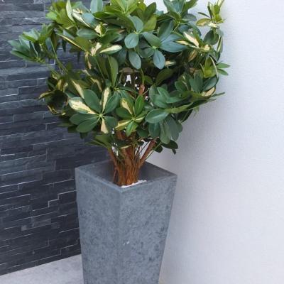 Plante Schefflera H110cm